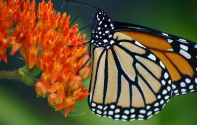 Butterfly Celebration Festival