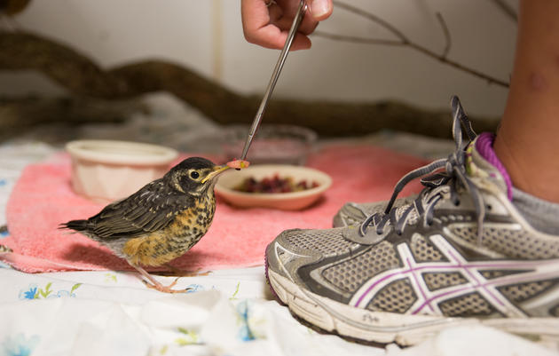 Wildlife Rehabilitation Volunteer