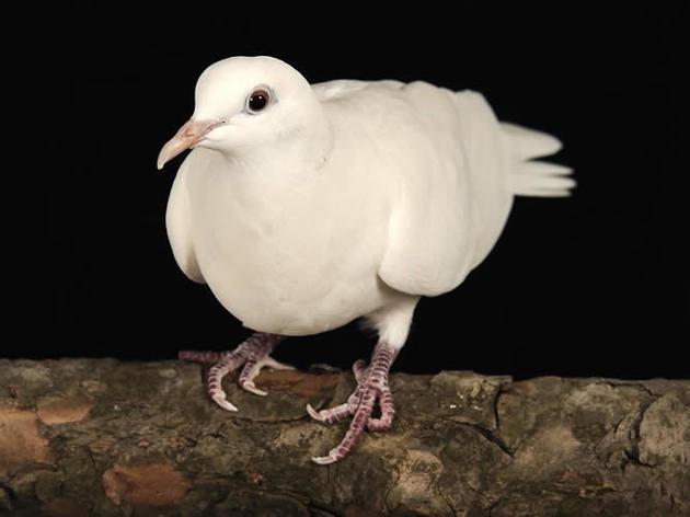 Ring-necked Dove
