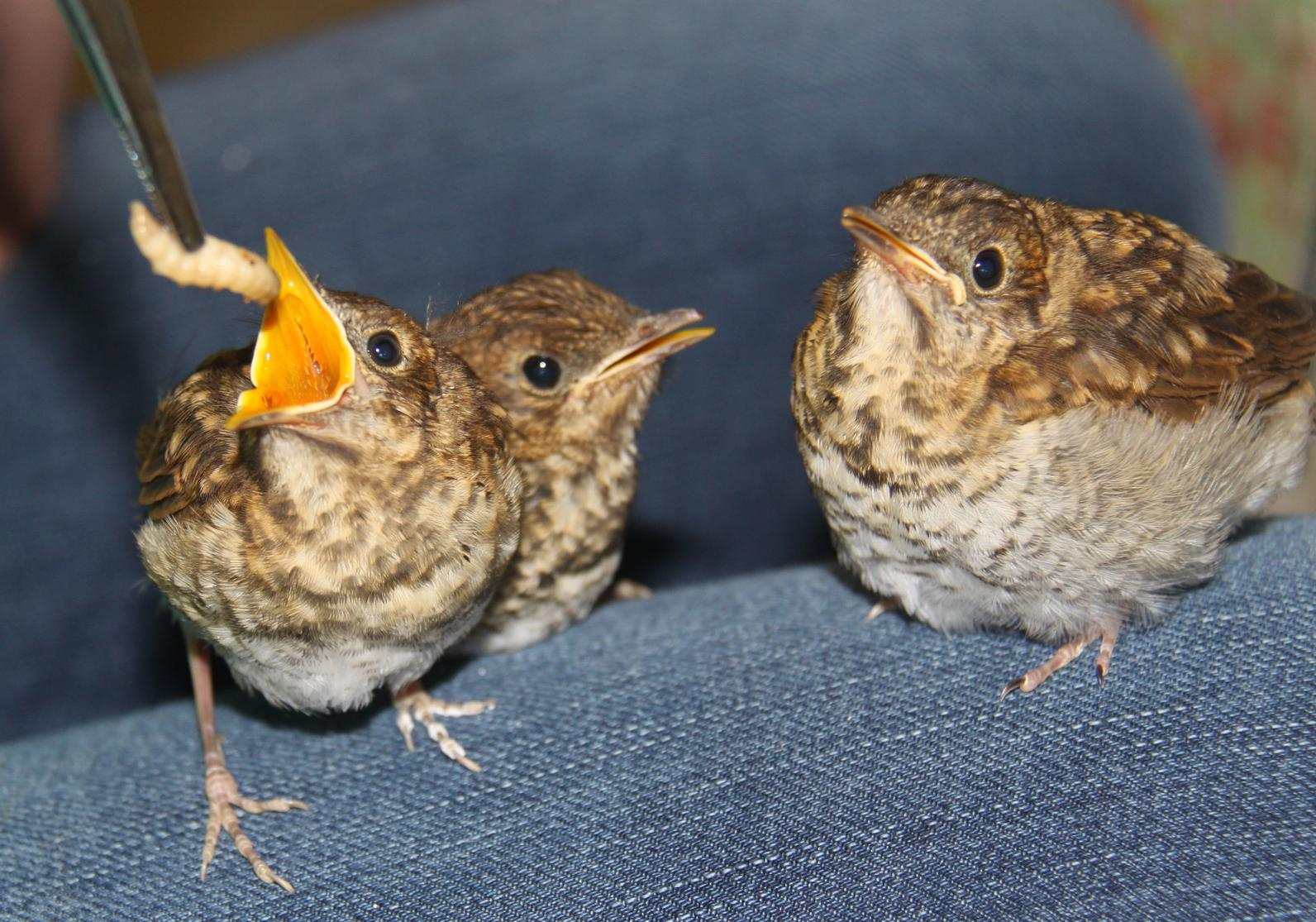 how to help a fledgling bird