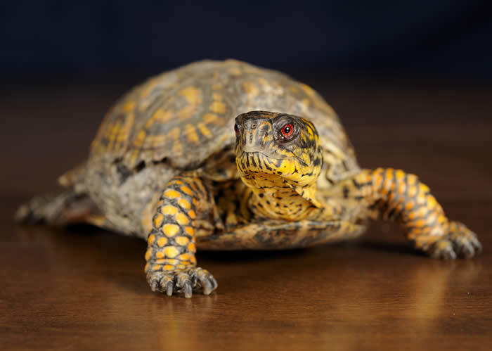 Box Turtle Sharon Audubon Center