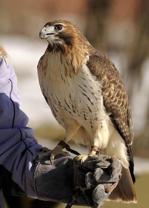 Red Tailed Hawk Audubon Sharon